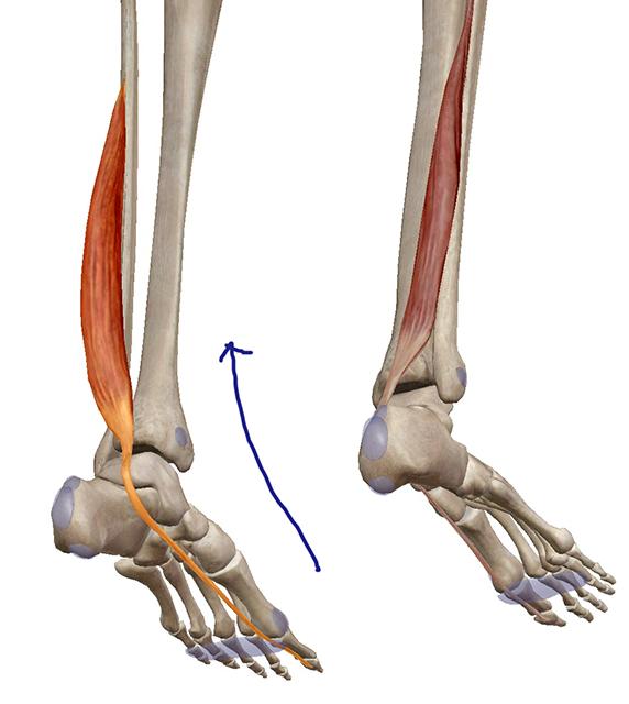 足関節の内反・外反に関与する筋肉まとめ。