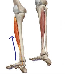 前頚骨筋1