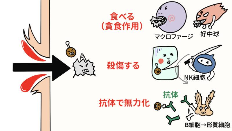 白血球の働き