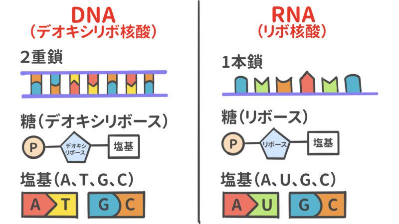 DNAとRNA