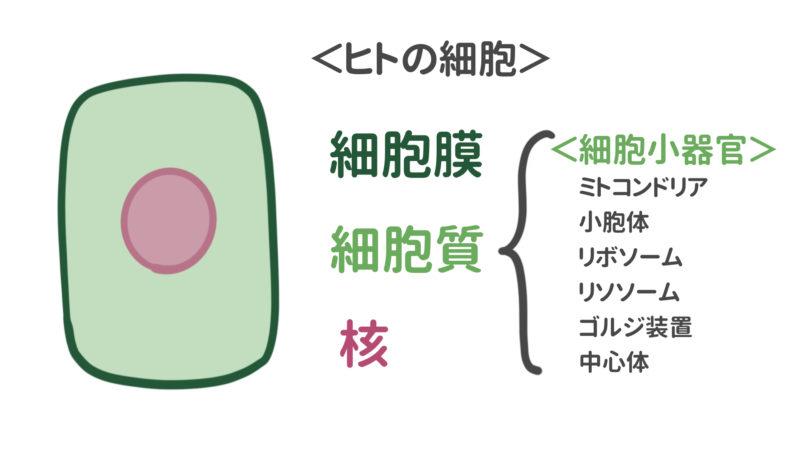細胞膜と細胞質と核