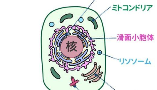 細胞の構造と機能(細胞小器官まとめ)
